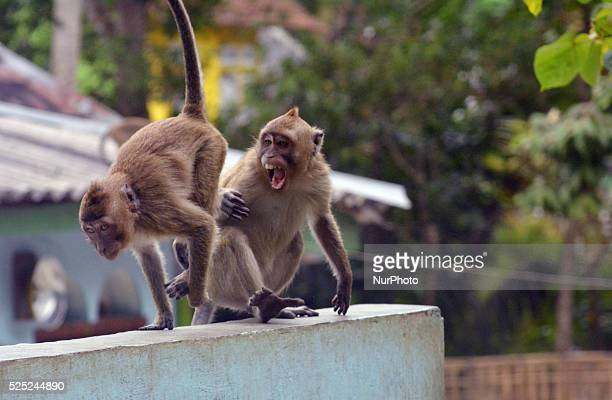 Hundreds of longtailed macaques in Cikakak Banyumas Central Java go into the village on August 22 2014 The monkeys were fed to the village because...