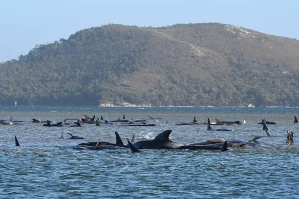 AUS: Hundreds Of Whales Stranded In Tasmania's Macquarie Harbour