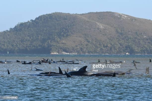 Hundreds of pilot whales are seen stranded on a sand bar on September 21, 2020 in Strahan, Australia. More than 200 pilot whales are stranded on a...