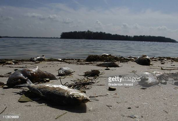 Hundreds of rotting fish lay upon the shores of the Anna Maria Island beaches in Florida killed by blooming red tide