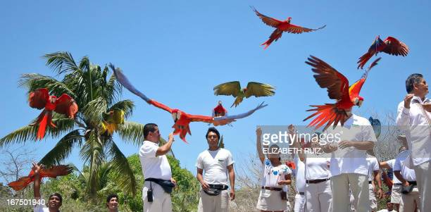 Hundreds of Scarlet macaws are released at Xcaret park in the Mayan Riviera near Playa del Carmen city Mexico on April 25 2013 The Xcaret park broke...