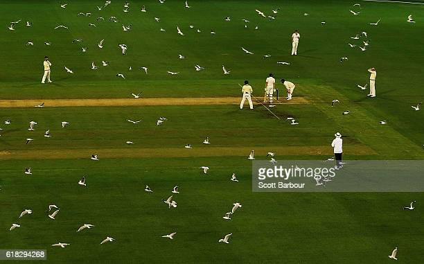 Hundreds of seagulls fly over the pitch as Tasmania bats during day two of the Sheffield Shield match between Victoria and Tasmania at the Melbourne...