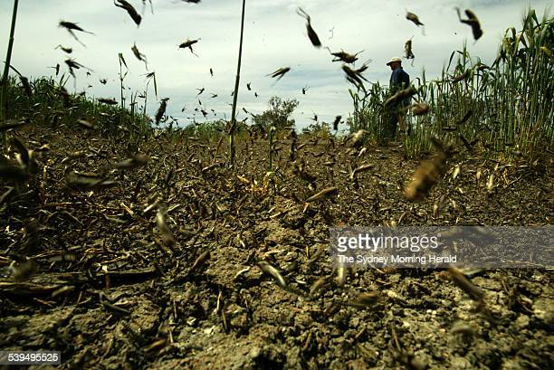 Hundreds of thousands of plague locusts in a band on the edge of a wheat field 40kms west of Wee Waa These locusts are reaching the end of their...