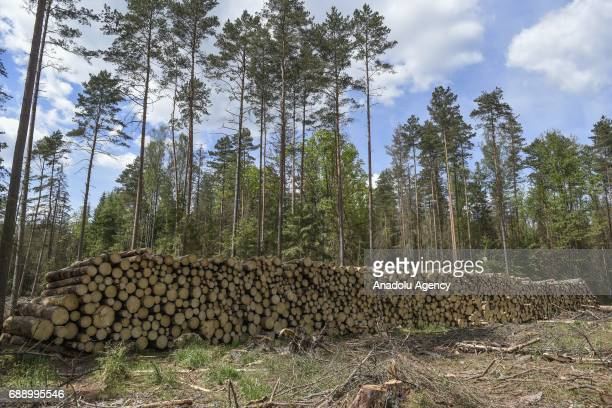 Hundreds of tree trunks are seen as ecologists stage a protest against the large scale logging at Bialowieza forest an Unesco natural world heritage...
