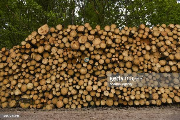 Hundreds of tree trunks are seen as large scale logging takes place at Bialowieza forest an Unesco natural world heritage site in Bialowieza Poland...
