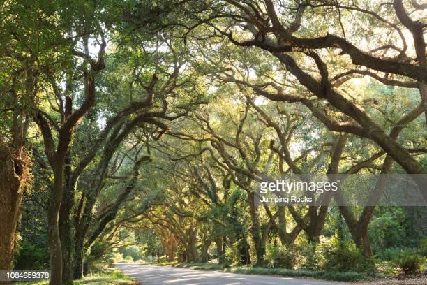 Hundred-Year Old Live Oak allee over road, Magnolia Springs, Alabama.