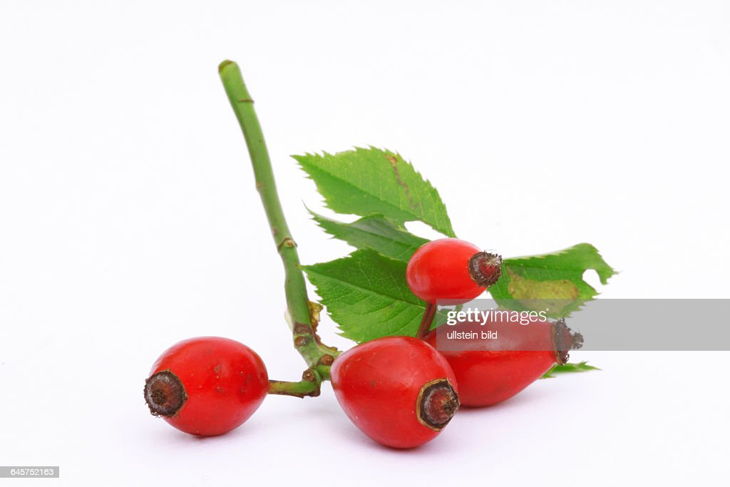 Hundsrose (Hagebutte) - rose hips (Rosa canina) : News Photo