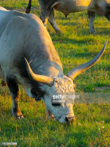 Hungarian Grey or Hungarian Steppe Cattle . An ancient breed of domestic cattle. Indigenous to Hungary. National Park Fertoe-Hansag. Part of UNESCO...