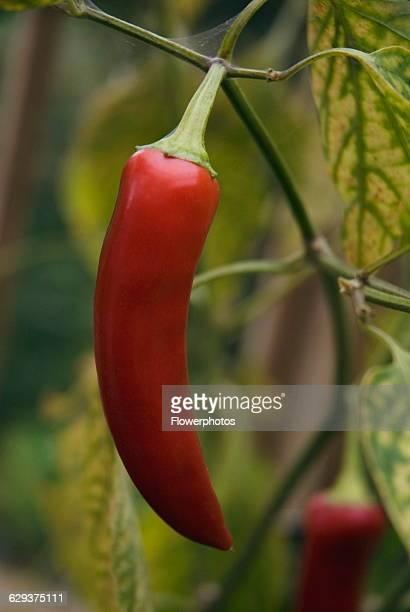 Hungarian hot wax' Chilli Capsicum annuum