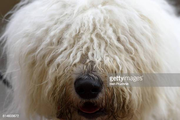 Hungarian komondor arrives with its owner on the first day of Crufts Dog Show on March 10 2016 in Birmingham England First held in 1891 Crufts is...