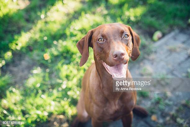 Hungarian vizsla dog sitting outside in sunlight looking at camera