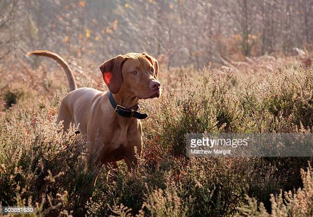 hungarian vizsla - hunting dog stock pictures, royalty-free photos & images