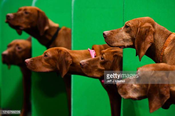 Hungarian Vizsla's watch their owner on day 2 of the Cruft's dog show at the NEC Arena on March 6, 2020 in Birmingham, England. The annual four-day...