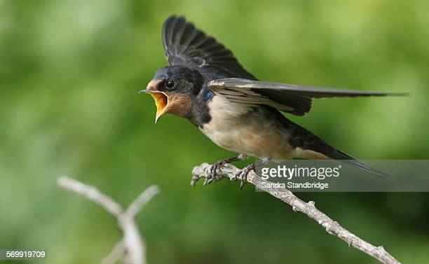 A hungry baby Swallow waiting to be fed.