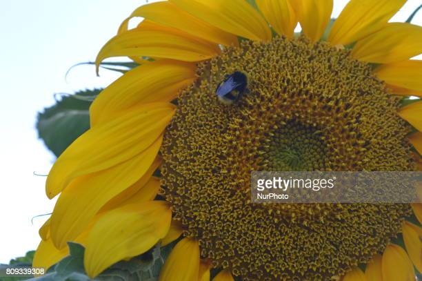 A hungry bee perches in a sunflower at a small garden in Ankara Turkey on July 05 2017