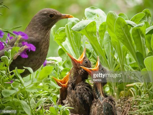 hungry blackbird babys - 10 days old