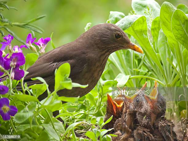 hungry blackbird babys - 7 days old - young animal stock pictures, royalty-free photos & images