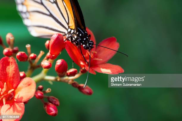 Hungry Butterfly 1
