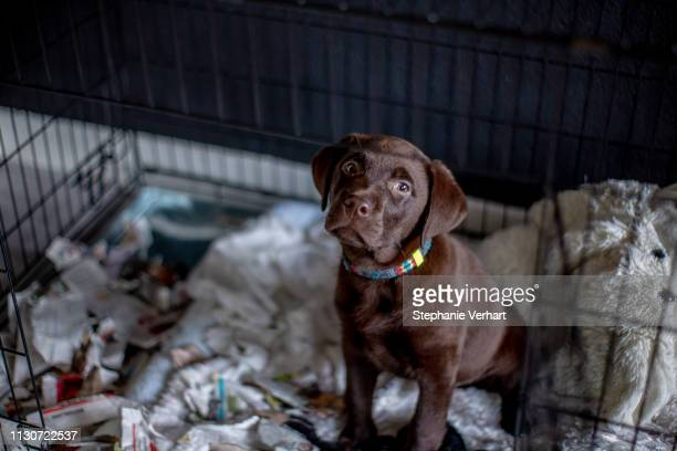 hungry chocolate labrador puppy eating a paper in a box kennel - tekstveld stock pictures, royalty-free photos & images