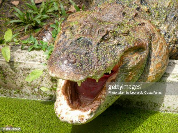 hungry crocodile - leonardo costa farias stock pictures, royalty-free photos & images