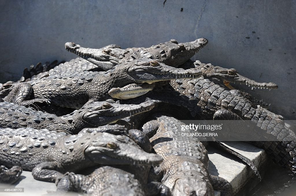 HONDURAS-STARVING-CROCODILES : News Photo