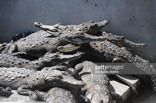 Hungry crocodiles in the pool of a private farm in the San Manuel municipality Cortes department 220 km north of Tegucigalpa on November 1 2015...