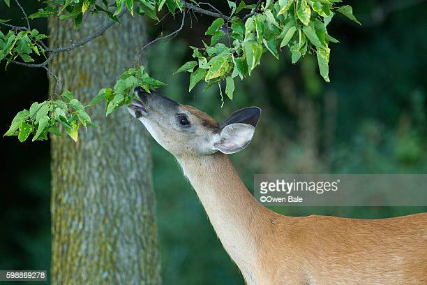 hungry doe - biche photos et images de collection