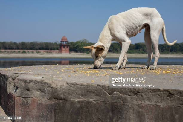 hungry dog, agra - underweight stock pictures, royalty-free photos & images