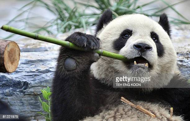 Hungry giant panda tears a stick of bamboo at a zoo in Beijing on May 24, 2008 after being evacuated from the famed Wolong breeding centre in...