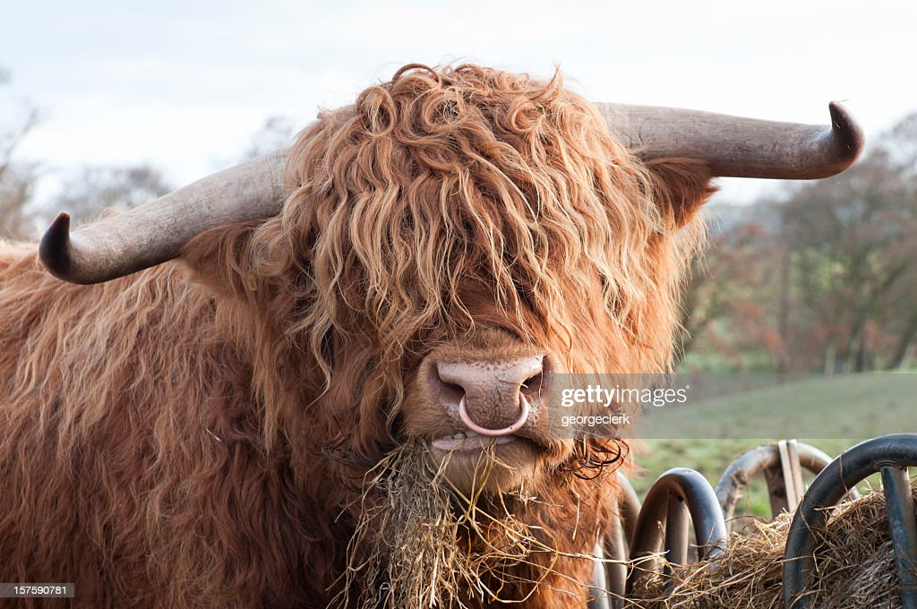 Hungry Highland Cow : Stock Photo