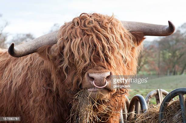 hungry highland cow - bull animal stock photos and pictures