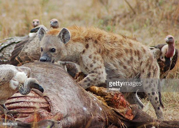 hungry hyena - beat your meat stock photos and pictures
