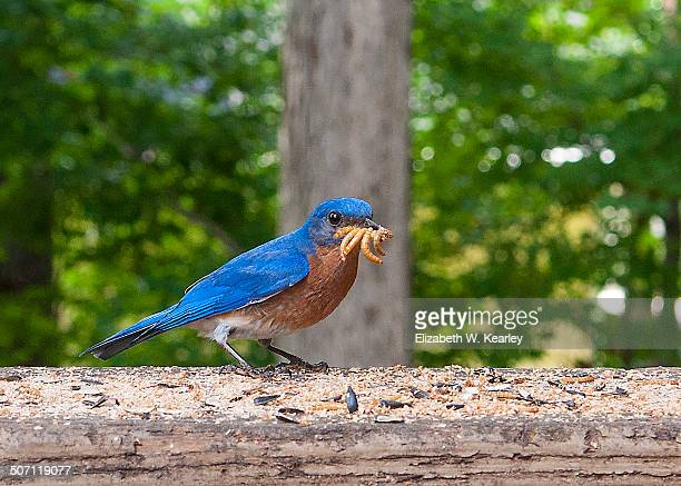 hungry male bluebird - mealworm stock photos and pictures