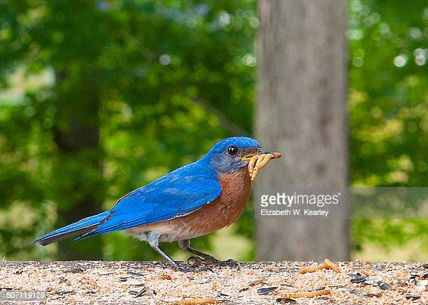 hungry male bluebird. - mealworm stock photos and pictures