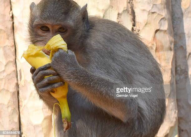 Hungry monkey munches on banana - Angkor, Cambodia
