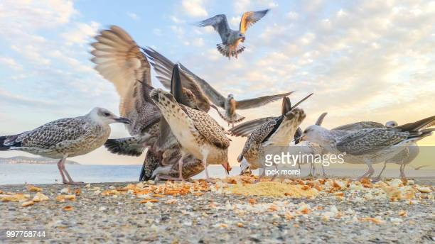 hungry seagulls fighting for food - ipek morel stock pictures, royalty-free photos & images
