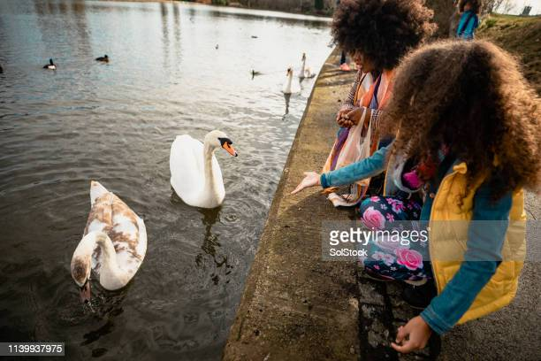 hungry swans in a pond - water bird stock pictures, royalty-free photos & images