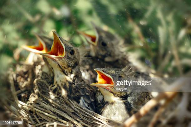 hungry thrush birds in nest with open mouth - 野生動物 ストックフォトと画像