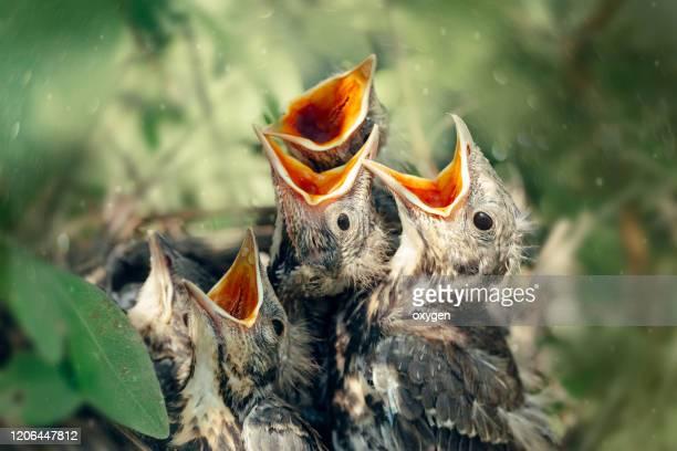 hungry thrush birds in nest with open mouth - tordo bottaccio foto e immagini stock