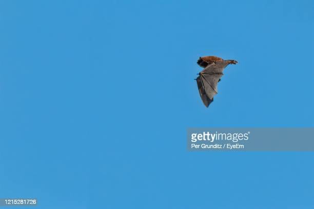 hungry tiny soprano pipistrelle bat flying in daylight on a spring day - per grunditz stock pictures, royalty-free photos & images