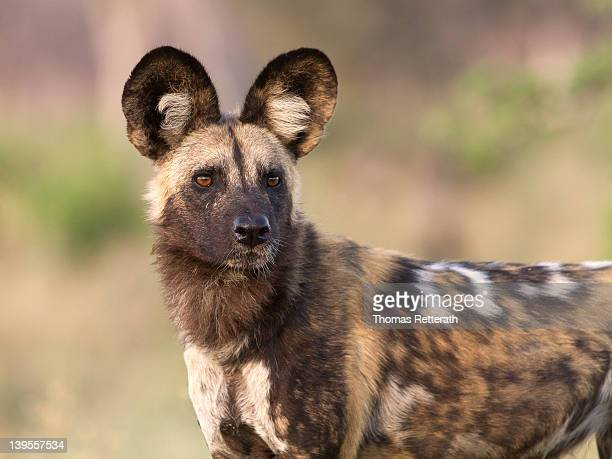 hunter - wild dog stock pictures, royalty-free photos & images
