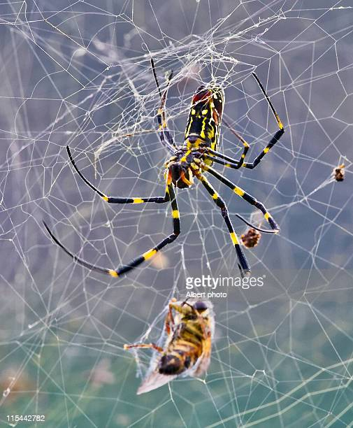 Hunter spider web