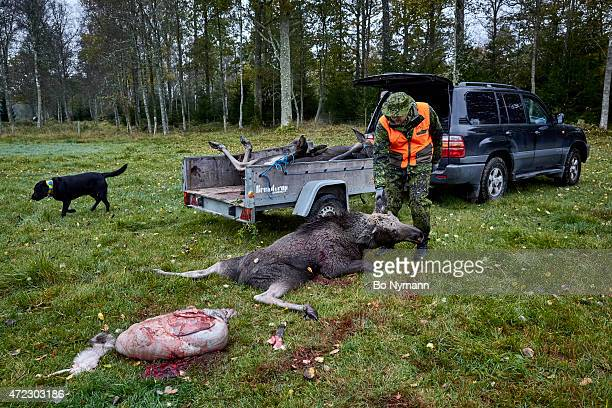 A hunter trying to get a dead moose on his trailer on October 22 in Holmsjoe Sweden