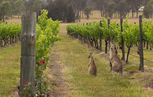 Hunter valley kangaroos in the vineyard 174963984