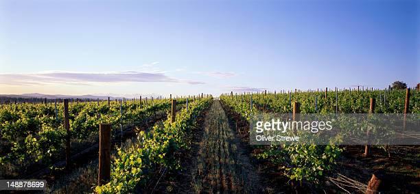 Hunter Valley vineyard.