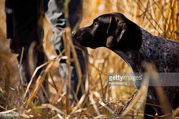 hunter with german shorthaired pointer - hunting dog stock pictures, royalty-free photos & images