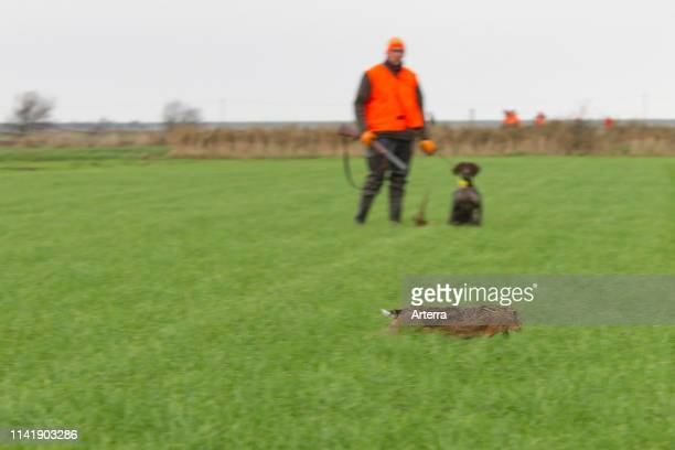 Hunter with rifle and gun dog watching fleeing brown hare in grassland during the hunting season in autumn