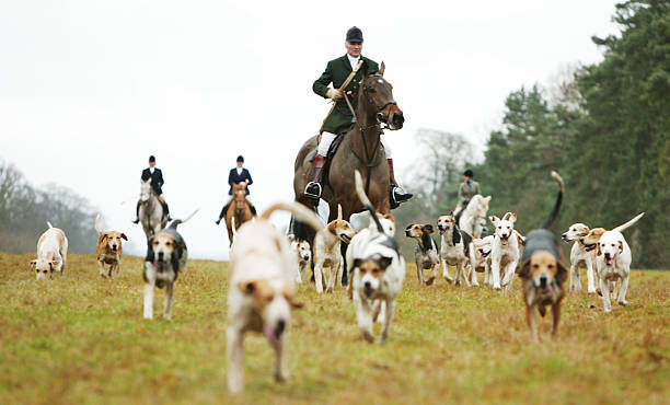 Hunters and hounds participate in the traditional fox...