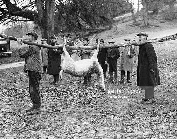Hunters carrying a dead fallow deer during an annual shoot at St. Pierre Park, held each year to thin out the herd and prevent the deer from over...