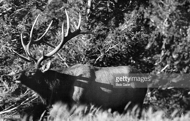 OCT 13 1982 OCT 14 1982 Hunter's Dream Colorado hunter holds rifle steady while getting crosshairs on elk which is nearly hidden in aspen grove More...